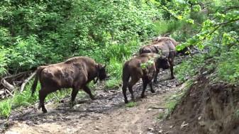 Şapte masculi de zimbru aduşi din rezervaţii din Germania - Premieră europeană în Banatul Montan