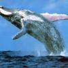 Autoritățile federale din SUA au început o anchetă - Balenele cu cocoaşă mor pe capete