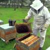 Sprijin pentru crescătorii de albine - Condiţii de eligibilitate pentru accesarea fondurilor