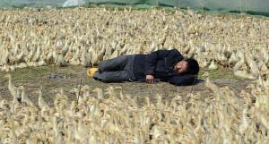 """O tulpină nouă şi agresivă a virusului gripei aviare - China """"livrează"""" din nou"""