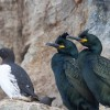 Societatea Ornitologică confirmă prezența cormoranului moțat - Primele apariţii pe litoralul românesc