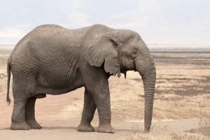Studiu. Braconajul pentru fildeş a dus la apariția elefanţilor fără colţi