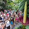 Eveniment rar în botanică, la Washington - Florile-cadavru înfloresc simultan