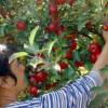 Înfiinţarea de plantaţii pomicole - Condiţii pentru obţinerea de finanţări