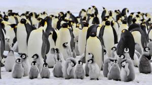 Mii de pinguini imperiali descoperiţi cu ajutorul satelitului - Colonia secretă din Antarctica