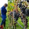 MADR: Sectorul vitivinicol - un nou ajutor de minimis